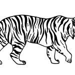 Tigre-caminhando