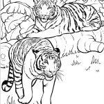 Tigres-em-habitat-natural